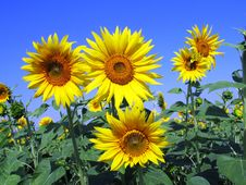 Free Flower, Sunflower, Yellow, Sunflower Seed Stock Photos - 96258403