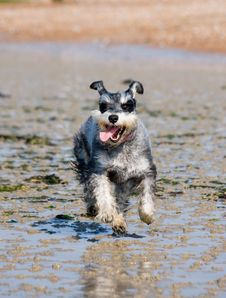 Free Dog, Dog Like Mammal, Dog Breed, Miniature Schnauzer Royalty Free Stock Photos - 96259298