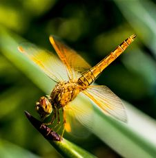 Free Dragonfly, Insect, Dragonflies And Damseflies, Macro Photography Stock Photo - 96259550