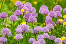 Free Purple, Flower, Chives, Grass Stock Photography - 96261252