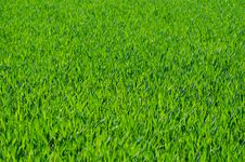Free Grass, Field, Grassland, Grass Family Royalty Free Stock Images - 96261969