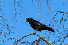 Free Bird, Fauna, Sky, American Crow Stock Images - 96262984