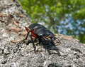 Free Stag-Beetle 3 Royalty Free Stock Photography - 9635877