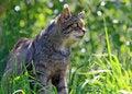 Free Cat Animal Wild Scottish Stock Photo - 9636330