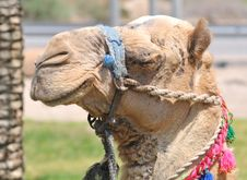 Free Decorated Dromedary Camel Head Stock Photos - 9630263