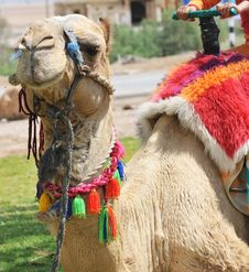 Free Decorated Dromedary Camel Royalty Free Stock Photography - 9630297
