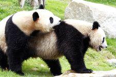 Free Panda Stock Photos - 9630993