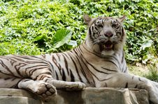 Free White Tiger Stock Images - 9630994