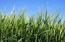 Free Wheat Field Royalty Free Stock Images - 9632909