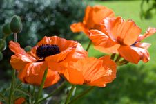 Free One In Focus Red Poppy Royalty Free Stock Image - 9633126
