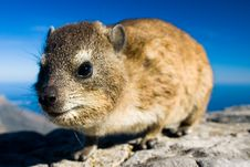 Free Rock Dassie Stock Photos - 9634093