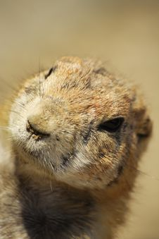 Free Prairie Dog Royalty Free Stock Photos - 9634348