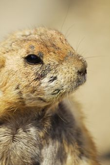 Free Prairie Dog Stock Images - 9634364