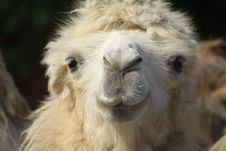 Free Camel Royalty Free Stock Image - 9634366