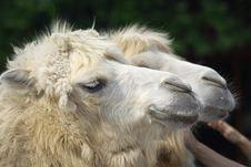 Free Camel Stock Image - 9634371