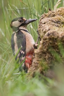 Free Great Woodpecker Royalty Free Stock Photos - 9635348