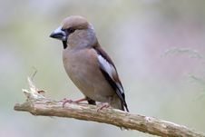 Free The Hawfinch Royalty Free Stock Photo - 9635475