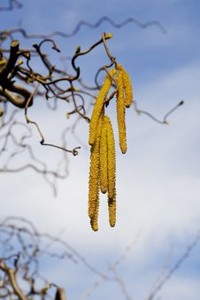 Free Beautiful Yellow Catkins Royalty Free Stock Images - 9635629