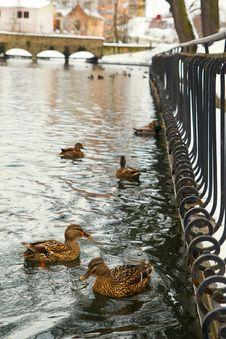 Free Mallard Ducks On Park Pond With Bridge In Winter Stock Image - 9635711