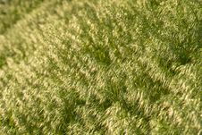 Free Brome Grass Background Royalty Free Stock Images - 9635769