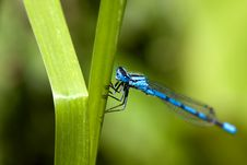 Free Common Blue Damselfly 2 Stock Photos - 9636003