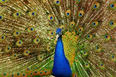 The Peacock Stock Images