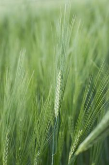 Free Green Spikelets Of Young Wheat Royalty Free Stock Photo - 9636905