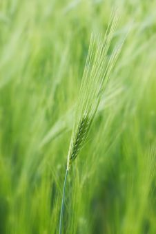 Free Spikelet Of Young Wheat Royalty Free Stock Photo - 9636925