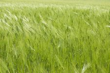 Free Green Wheat Stock Photo - 9637000