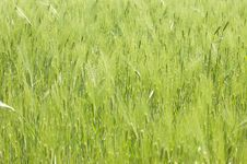 Free Green Wheat Royalty Free Stock Photos - 9637078