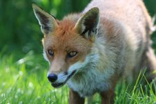 Free Fox Dog Head Stock Photos - 9637183