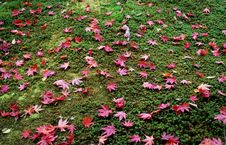 Red Maple Leaves 2 Stock Photo