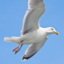 Free Seagull In Blue Sky Stock Photo - 9639630