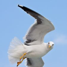 Free Seagull In Blue Sky Stock Photos - 9639633