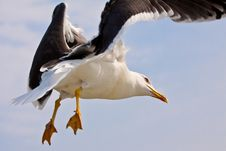 Free Seagull In Blue Sky Stock Photos - 9639643