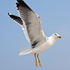 Free Seagull In Blue Sky Royalty Free Stock Images - 9639669
