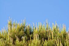 Free Pines Royalty Free Stock Photo - 9639875