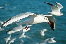 Free Close-up Of Seagull Royalty Free Stock Photography - 9639937