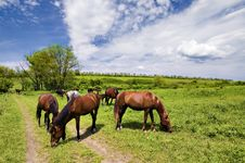 Wild Steppe Horses Royalty Free Stock Photo