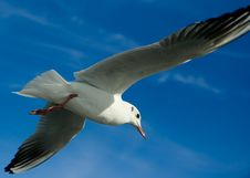 Seagull Flying Over Blue Sky Royalty Free Stock Images