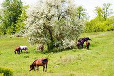 Wild Steppe Horses Royalty Free Stock Photography