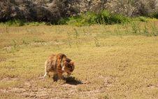 Free Feral Cat Strolling Through My Yard Stock Photos - 96364333