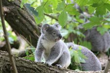 Free Koala Bear On Grey Wood Trunk On Daytime Royalty Free Stock Photo - 96364385
