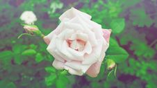 Free Closed Up Photography Of White Rose Stock Photos - 96364513