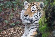 Free Tiger Predator Royalty Free Stock Photo - 96364625
