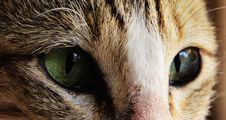 Free Cat Eyes Royalty Free Stock Photo - 96364935