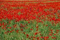 Free Poppy Field Royalty Free Stock Images - 9640829