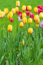 Free Tulips - A Bright Flower Bed. Stock Image - 9641611