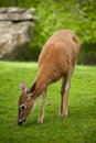Free Female Deer Grazing Royalty Free Stock Photography - 9647167