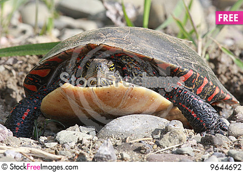 Free Turtle Stock Photography - 9644692